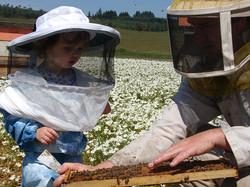 Pollinating Meadowfoam