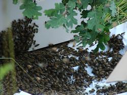 The swarm runs into their new home