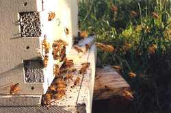 Beehive entry close-up