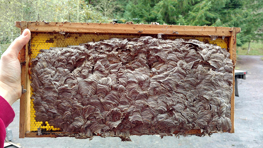When wasps take over a hive-- Oy!