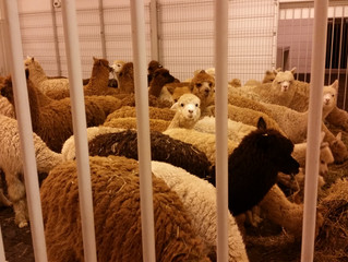 Quintessence Exports 950 alpacas to  China!