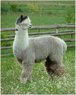 Alpaca Guacaya
