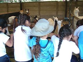 Visitas al criadero de alpacas