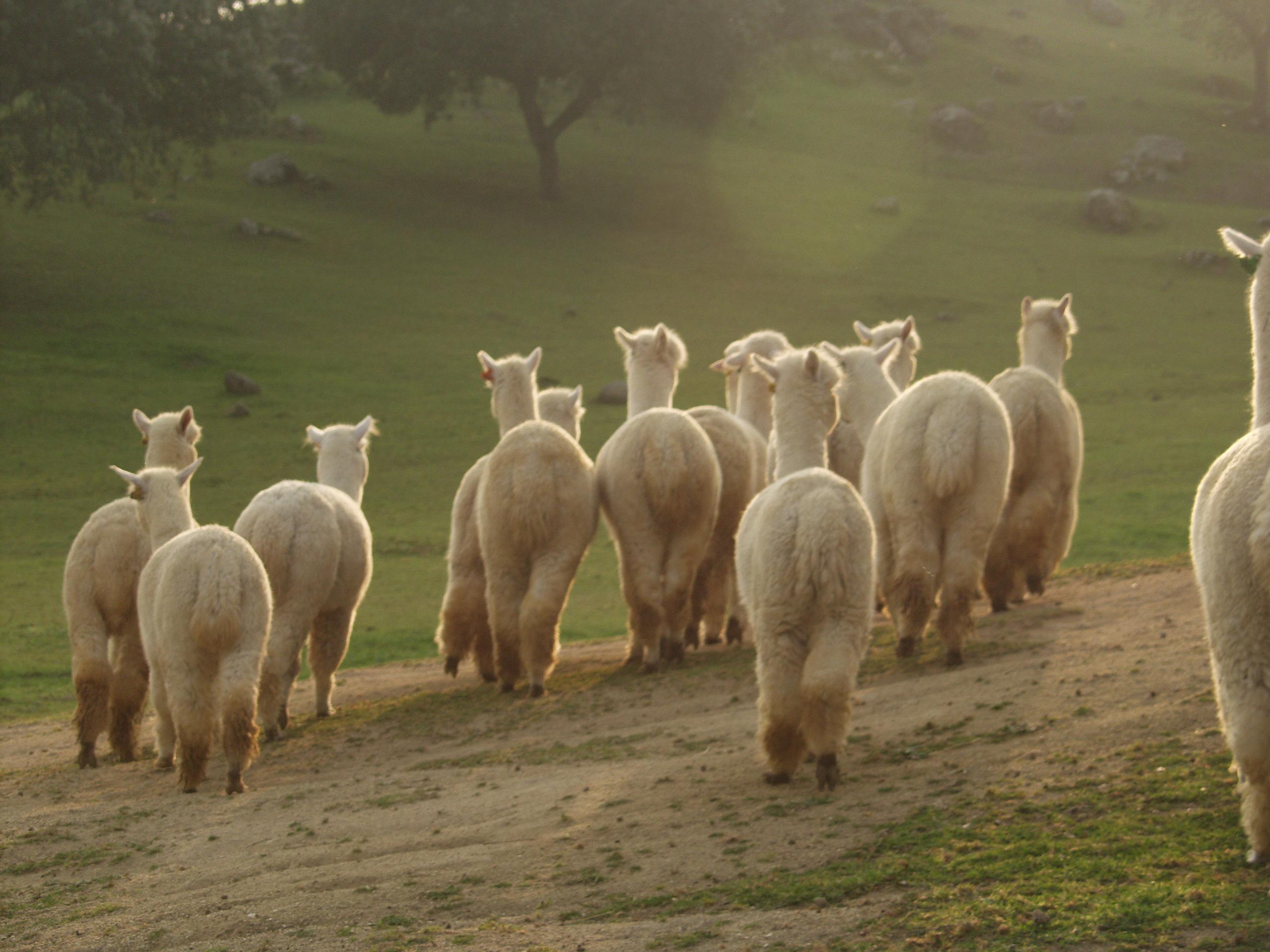 About Alpacas.JPG