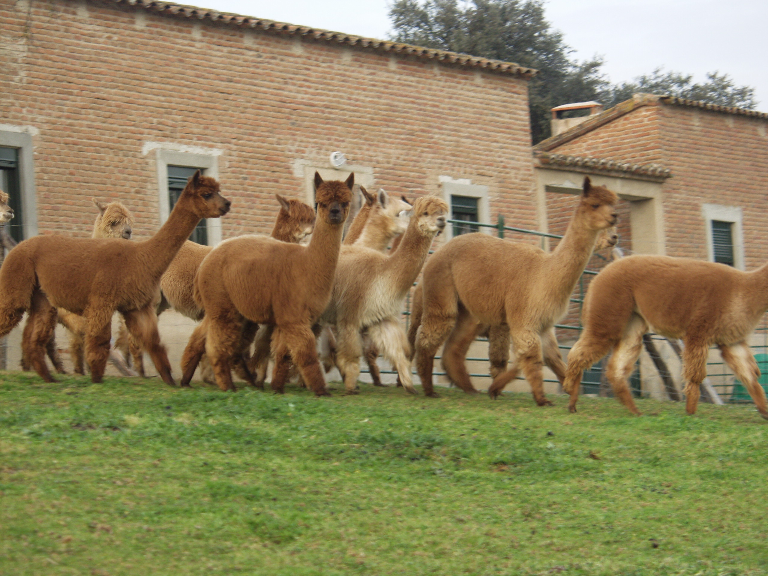 The Global Alpaca Company...JPG