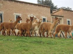 The Global Alpaca Company...JPG