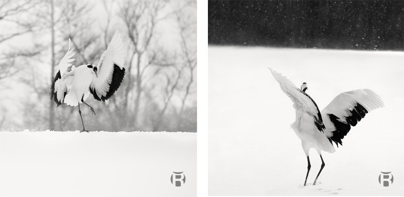 Comment photographier les grues du Japon à Kushiro, Hokkaido - Olivier Robert