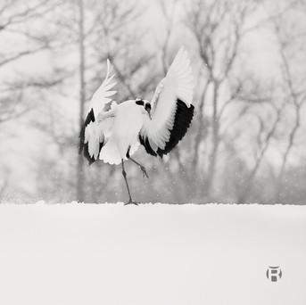 Japon - Hokkaido - Tanchozuru