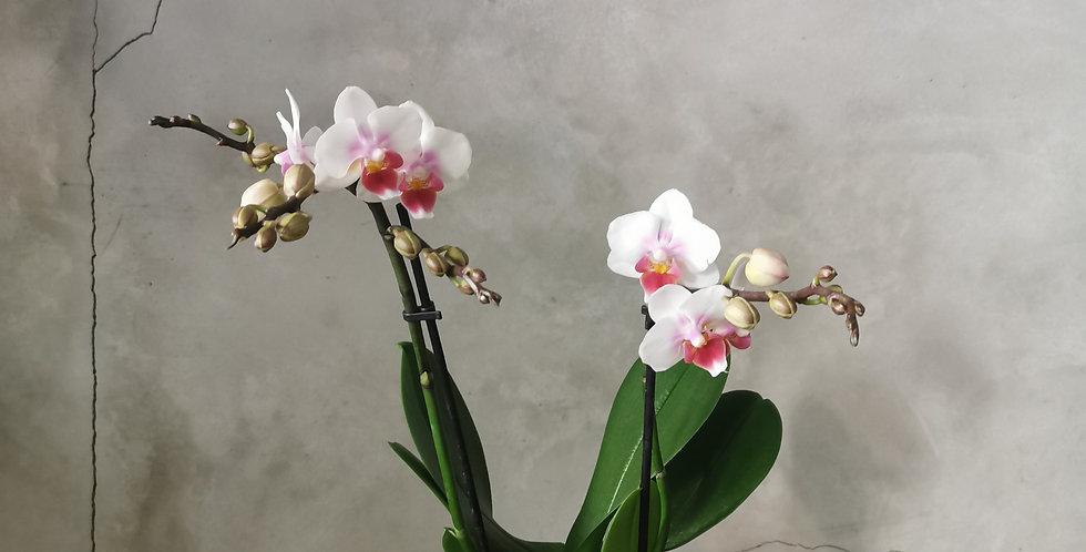 orquídia pequeña