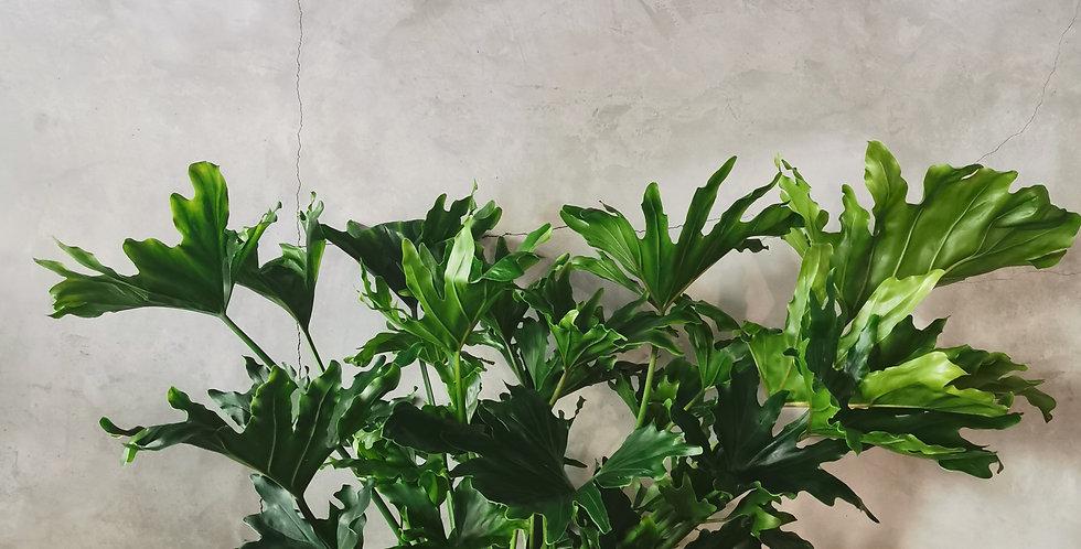 philodendon selloum