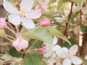 植物観察日記|【第6回】クラブアップル