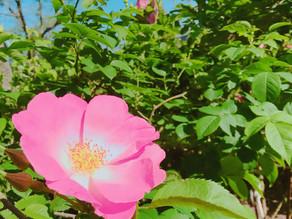 植物観察日記|【第4回】ワイルドローズ