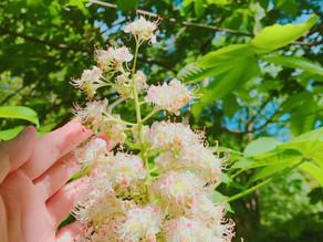 植物観察日記|【第1回】ホワイトチェストナット