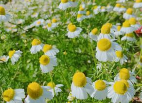 植物観察日記【第7回】カモミール