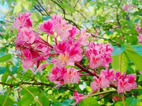 植物観察日記|【第5回】レッドチェストナット