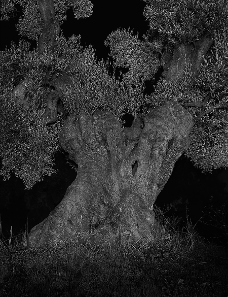 _Le_dit_de_la_nuit#2,_Oliviers_monumenta