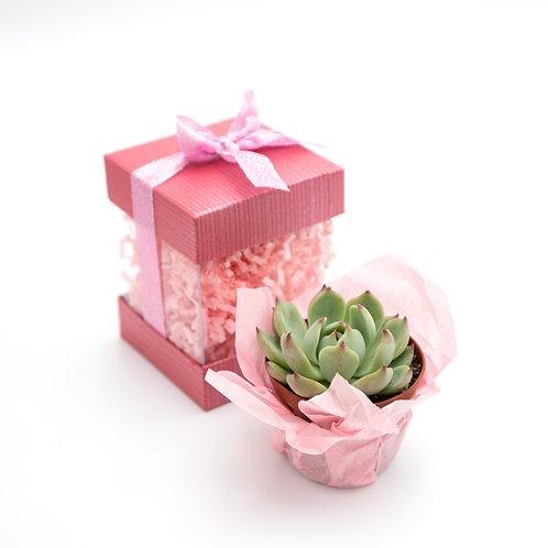 Pretty In Pink Succulent Box