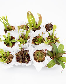 Carnivorous Cuties (12 Count)