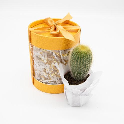 Golden Dream Cactus Box