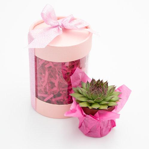 Perfectly Pink Sempervivum Box