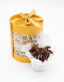 Golden Dream Carnivorous Box