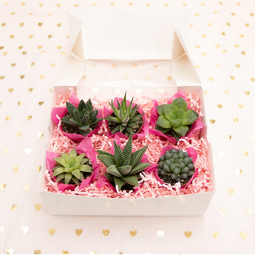 Sweet Six Haworthia Box