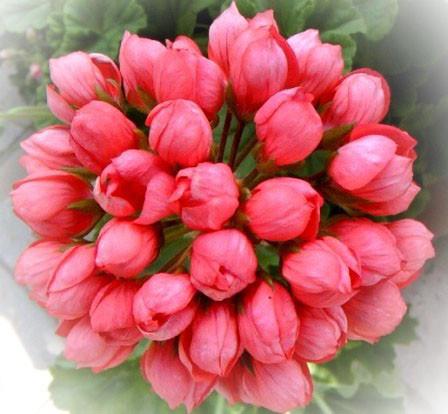 Цветы герань купить в интернет магазине подарок женщине если подарок любимому после оригинальные подарки