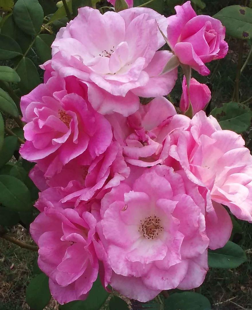Rose67.jpg
