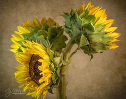 Carols_sunflowersFB