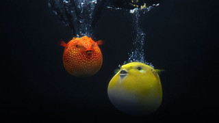 Dolby Vision - Pufferfish