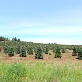 クリスマスツリーの栽培