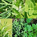 PLANTS DE FINES HERBES