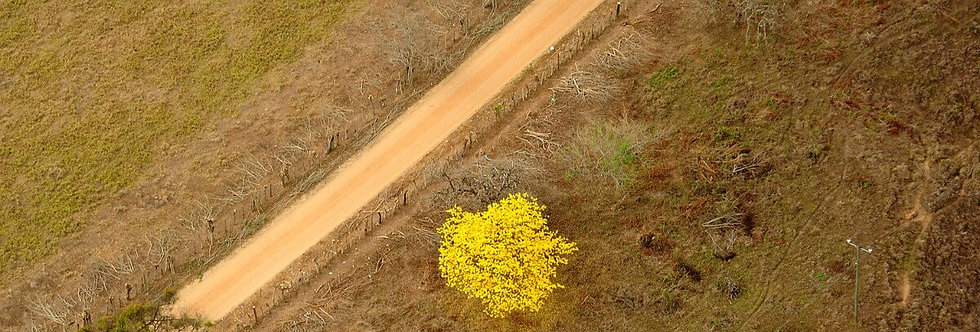 Yellow Tree, Mosquito Coast, Honduras. April, 2012.