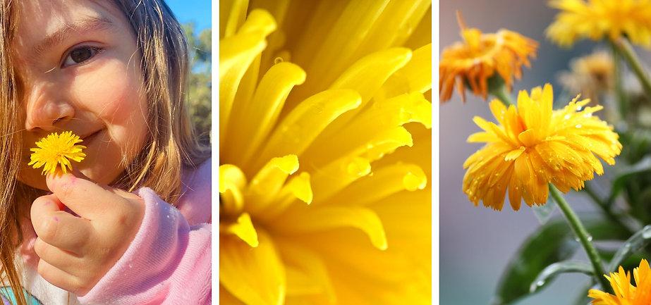 The Health Benefits of Dandelion Root