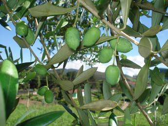 Bactéria que destrói oliveiras chegou a Portugal através de plantas ornamentais