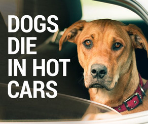 Dogs In Hot Cars & Other Summer Dangers