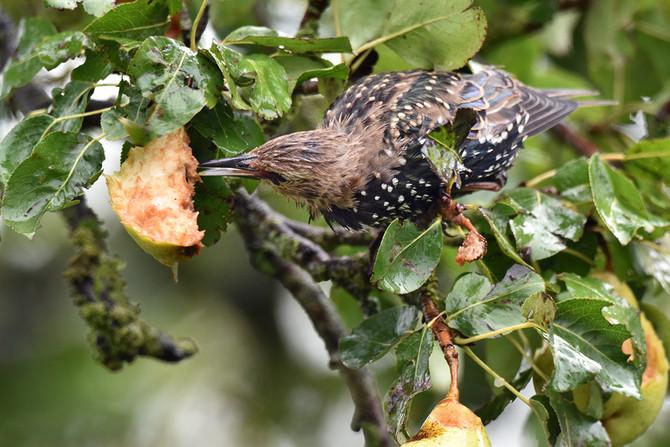 Snackende Spreeuw | Snacking Starling