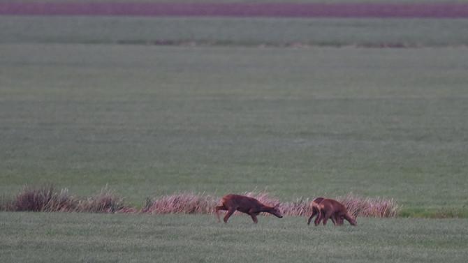 Hertje, hertje | Doe, a deer, a female deer