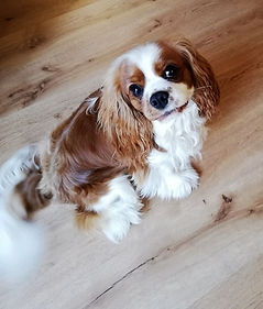 educateur canin montpellier comportementaliste cavalier king charles