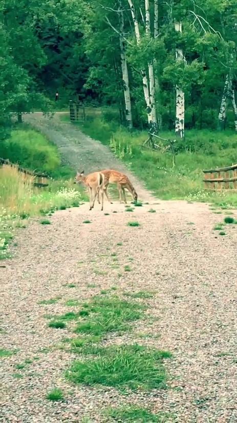 Deer on driveway