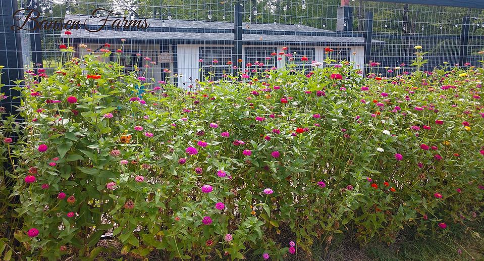 Bansen zinnias.png