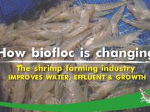 BIOFLOC: IMPROVES WATER, EFFLUENT & GROWTH