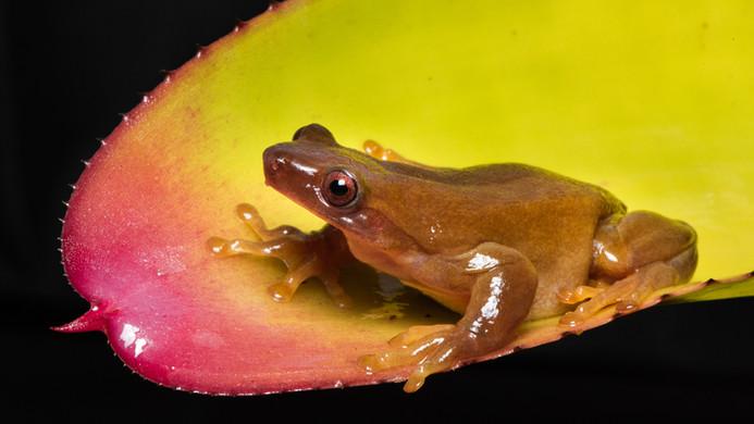 Xenohyla truncata