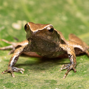 PROJECT AIMS TO DOCUMENT ALL BRAZILIAN  AMPHIBIANS THREATENED WITH EXTINCTION