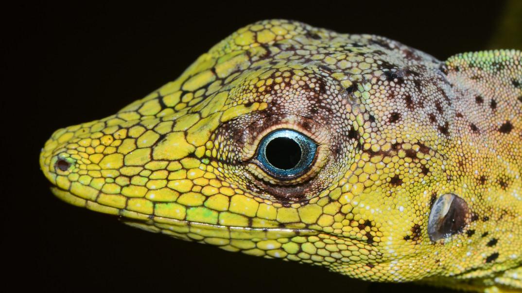 Blue-Eyed Lizard