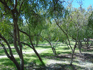 Bosque de Mangaba