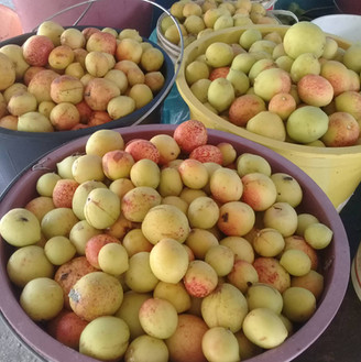 Frutos da Mangaba