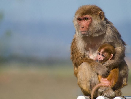 Studying the Zika virus in rhesus macaques
