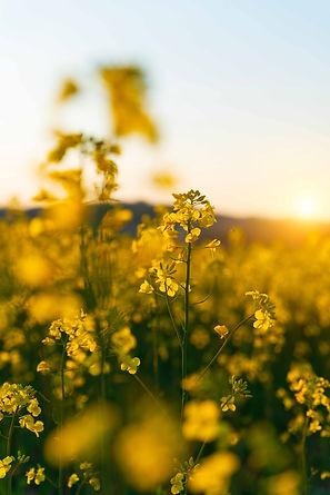 detail-of-flowering-rapeseed-canola-or-c