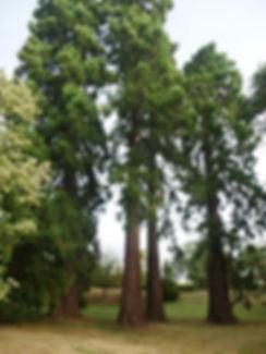 Séquoïas remarquables - verneuil sur avre - normandie